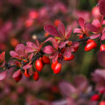 Barberry branch fresh ripe berries
