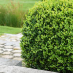 Boxwood Plant with Brick Steps in Background