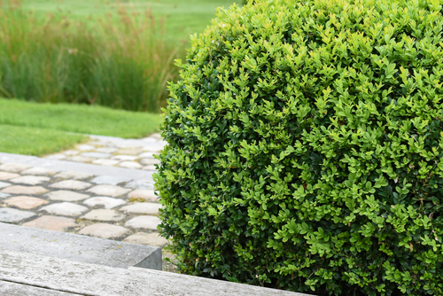 Boxwood Plant With Brick Steps In Background Gregory