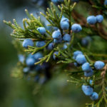 Bunch of juniper berries on a green branch