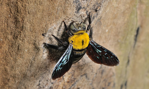 Carpenter Bee on Rock