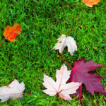 Colorful Fall Leaves on Green Lawn