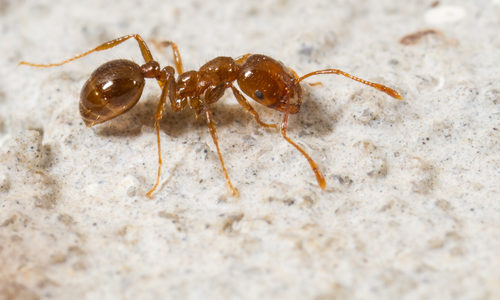 Fire Ant on Sandy Background