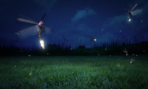Facts About Fireflies