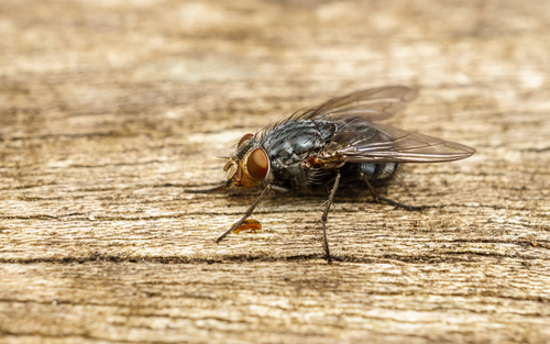 Fly on Wood Table