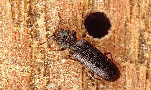 Powderpost Beetle on wood with hole
