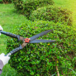 Pruning shears for cutting tree in the garden.
