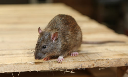 Rat on Wood Plank in Garage