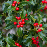 Red holly berries on holly bush