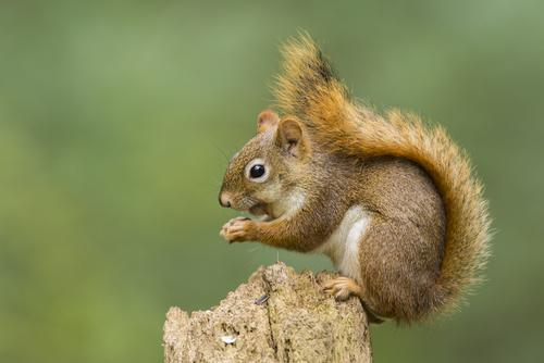 Squirrel Eating an Acorn on Log
