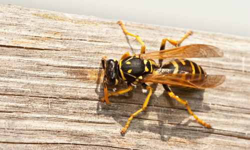 Yellow Jacket on Wood Table