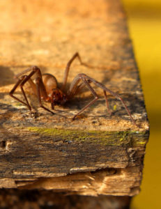 Brown Recluse Spider Gregory Pest Solutions