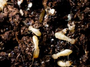 Subterranean termites burrow.