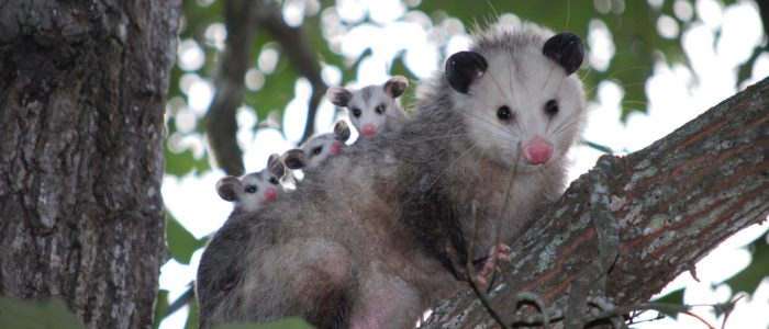 Oh man, I have an opossum!