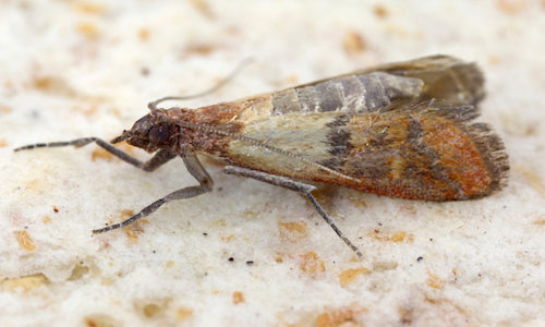 Indian Meal moth