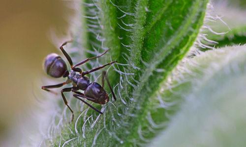 Odorous House Ants