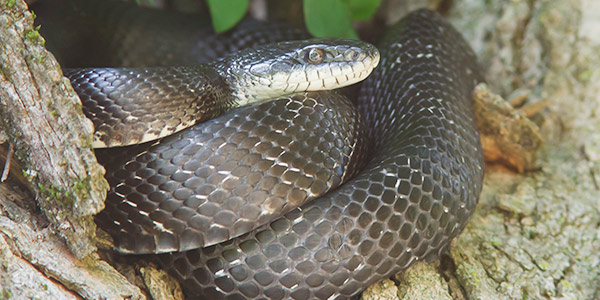 Snakes Come Out Of Hiding As Summer Sets In Gregory Pest