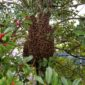 Honey Bee Swarm in bush