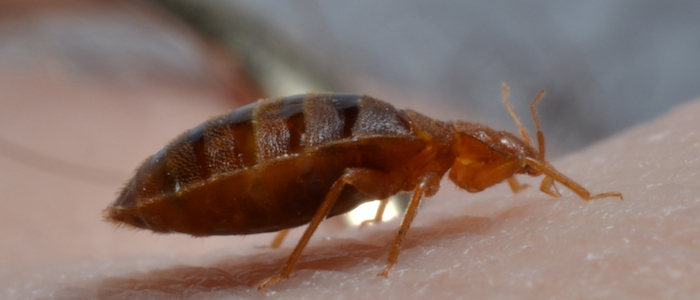 Bed bug crawling over human skin in commercial setting